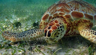 Green sea turtle (Chelonia mydas) grazing on mixed seagrasses in waters near Bonaire (photo by Robert van Dam)