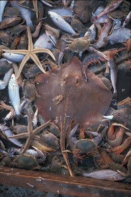 On my first night on a shrimp trawler in 1971, off the northern Gulf of California, Callinectes arcuatus and other species (besides shrimps) make up 95% of the shrimp trawl haul. The shrimp were plucked out and the bodies of the other 95% were shoveled overboard (EAN photo).