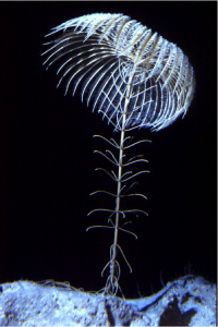 A living stalked crinoid, Bahamas.  Their close relatives have lived in the sea for more than a half-billion years.  Stalked crinoids were the first living animals found in the oceans' great depths.