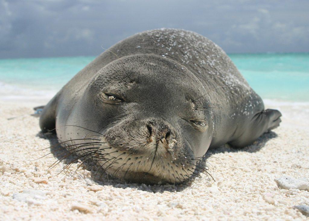 Hawaiian monk seal rests on beach. Credit: Charles Littnan/NOAA