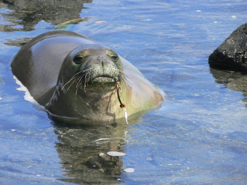 A Hawaiian monk seal endures a rusted fish hook. Credit: NOAA