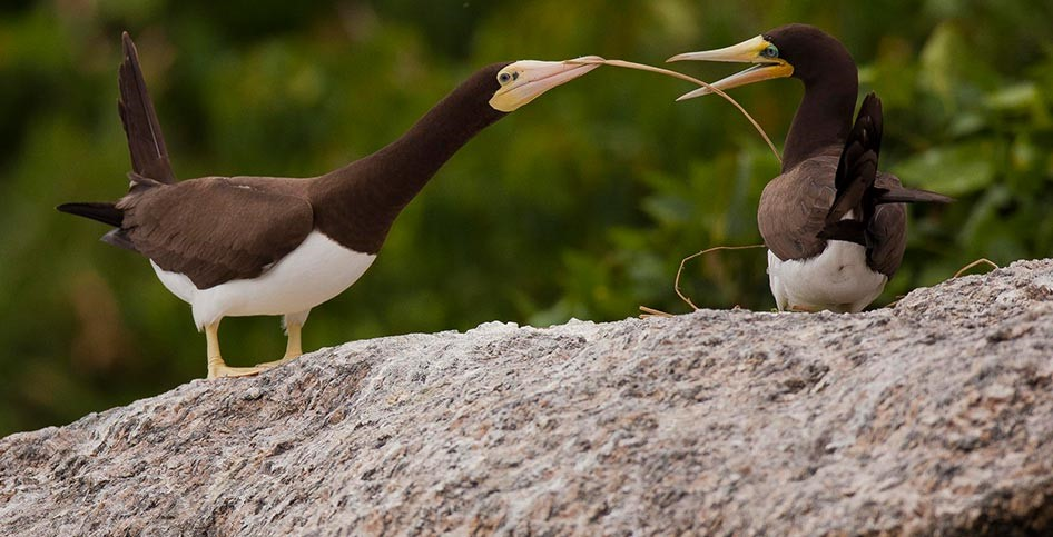 From Cristian Dimitrius: Brown Booby courtship on the Alcatrazes Islands of Brazil.