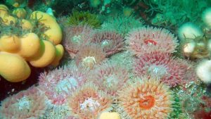 Anemones of Arran Island; Photo: COAST (Community of Arran Seabed Trust)