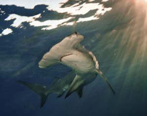 A Great Hammerhead, (Sphyrna mokarran), swims near the surface in The Bahamas near sunset.