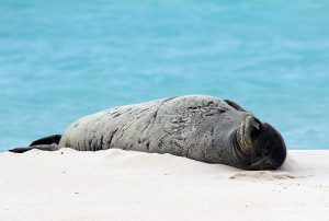 monk_seal_midway