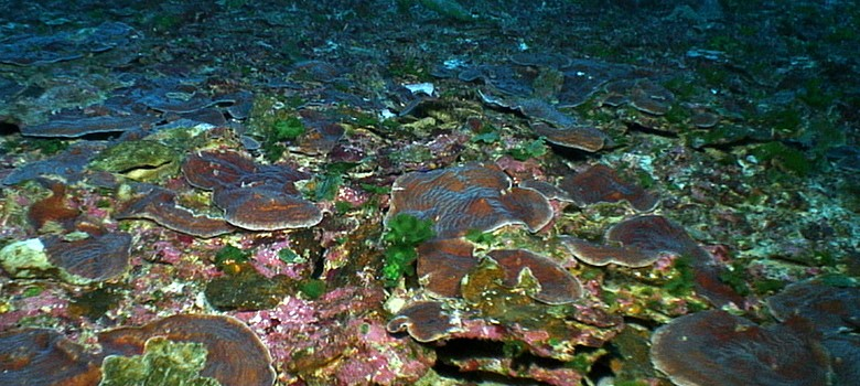 Large flat plates of Agaricia coral at Pulley Ridge. Image courtesy NOAA-OER.