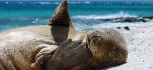 A juvenile Hawaiian monk seal rests on a beach, photo credits: Mark Sullivan/NOAA Fisheries